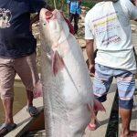 Kades Nanga Man Ketiban Rejeki Ikan Seladang 100 Kg