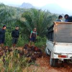 Curi Sawit Perusahaan 1.895 Kg, Dua Pencuri ini ditangkap Polisi