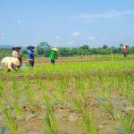 Pupuk Subsidi Langka, Nonsubsidi Mahal, Petani Terpaksa Pakai Urin Kelinci