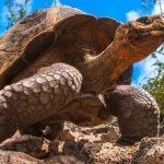 Kura-kura Raksasa Seukuran Mobil Ditemukan, Hidup Jutaan Tahun Silam
