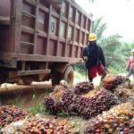 Produksi Sawit di 2020 Diprediksi Turun Imbas Kemarau Panjang Tahun Lalu