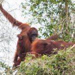 Karhutla Kian Mempersempit Kelangsungan Hidup Orangutan