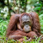 Habitat Rusak, Orangutan Masuk Permukiman Warga Kotawaringin Timur
