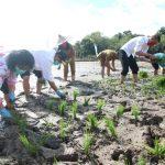 Anggota Komis II DPR RI Dapil Kalbar Tanam Padi Bersama Petani Landak