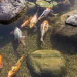 Budidaya Ikan Aquaponik: Ini Cara Pilih Benih Ikan yang Sehat