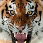 Harimau Serang Staf Kebun Binatang Hingga Tewas Di Hadapan Pengunjung