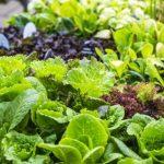 7 Tanaman Sayuran yang Bisa Dibudidayakan di Rumah