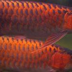 Tipikor dan Pungli Pengadaan Ikan Arwana, Polisi Periksa Kadis Perikanan Kapuas Hulu