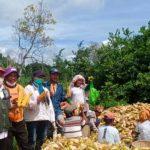 Banyak Daerah Panen Raya, Stok Jagung untuk Pakan Ternak Melimpah