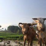 BPS Beri Warning: La Nina Bisa Ancam Target Produksi Beras Nasional
