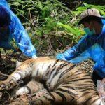 Tiga Harimau Sumatera Mati Terjerat di Aceh Selatan