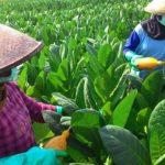 Pemerintah Disebut Sedang Melakukan Kejahatan Ekonomi Terhadap Petani Tembakau