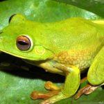 LIPI Temukan Spesies Katak Baru di Area Freeport, Diberi Nama Lubis