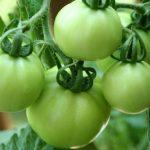 Cara Menanam Tomat Mudah dan Sederhana, Bisa Jadi Hobi Baru Anda Saat Pandemi