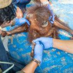 Penyelamatan Bayi Orangutan di Hulu Sungai Ketapang