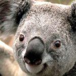 Gegara Selamatkan Koala, Tabrakan Beruntun Enam Mobil Terjadi