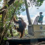 "Translokasikan si ""Jhon"" Individu Orangutan di Hutan Rawa Gambut"