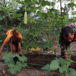 Babinsa Koramil 08/Mandor Perkuat Ketahanan Pangan Desa Binaan