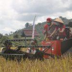 Landak Panen Padi Perdana Pertanian Modern