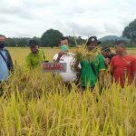 Desa Senakin Panen Padi Demplot Varietas Unggul Bersertifikat