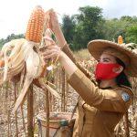Panen Raya Jagung di Desa Pawis